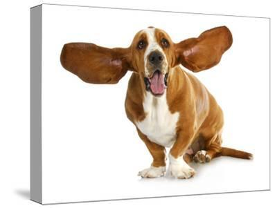 Happy Dog - Basset Hound With Ears Up-Willee Cole-Stretched Canvas Print