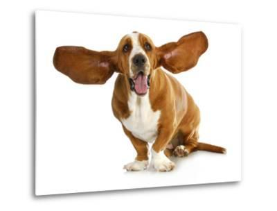 Happy Dog - Basset Hound With Ears Up-Willee Cole-Metal Print