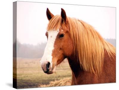 Palomino Horse Portrait-Anastasija Popova-Stretched Canvas Print