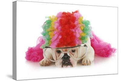 Silly Dog - English Bulldog Dressed Up Like A Clown On White Background-Willee Cole-Stretched Canvas Print