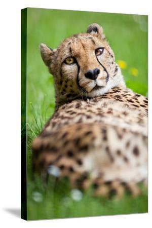 Cheetah (Acinonyx Jubatus)-l i g h t p o e t-Stretched Canvas Print