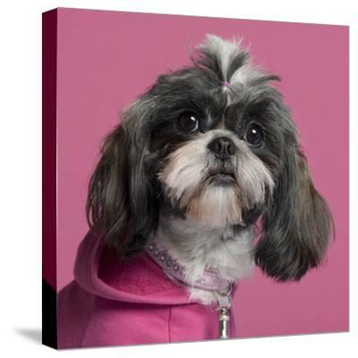 Close-Up Of Shih Tzu In Pink, 2 Years Old, In Front Of Pink Background-Life on White-Stretched Canvas Print
