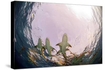 Lemon Sharks-Greg Amptman-Stretched Canvas Print