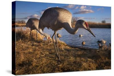 Sandhill Cranes and Mallard Ducks, British Columbia, Canada-Art Wolfe-Stretched Canvas Print