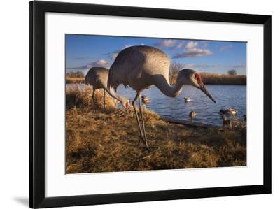 Sandhill Cranes and Mallard Ducks, British Columbia, Canada-Art Wolfe-Framed Photographic Print