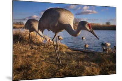 Sandhill Cranes and Mallard Ducks, British Columbia, Canada-Art Wolfe-Mounted Photographic Print
