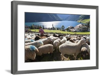 Sheep in the Alps Between South Tyrol, Italy, and North Tyrol, Austria-Martin Zwick-Framed Photographic Print