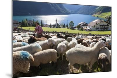 Sheep in the Alps Between South Tyrol, Italy, and North Tyrol, Austria-Martin Zwick-Mounted Photographic Print