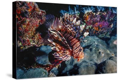 Lionfish at Daedalus Reef (Abu El-Kizan), Red Sea, Egypt-Ali Kabas-Stretched Canvas Print