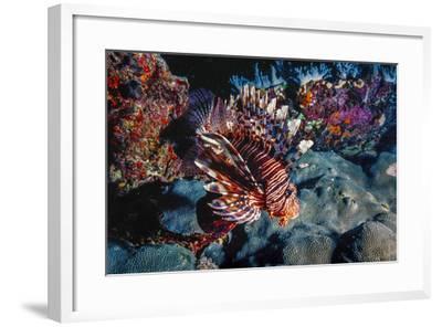 Lionfish at Daedalus Reef (Abu El-Kizan), Red Sea, Egypt-Ali Kabas-Framed Photographic Print