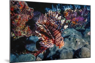 Lionfish at Daedalus Reef (Abu El-Kizan), Red Sea, Egypt-Ali Kabas-Mounted Photographic Print