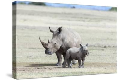 White Rhinoceros Mother with Calf, Kenya-Martin Zwick-Stretched Canvas Print