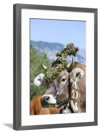 Cow Decorated with Flowers and Ceremonial Bells, South Tyrol, Italy-Martin Zwick-Framed Photographic Print