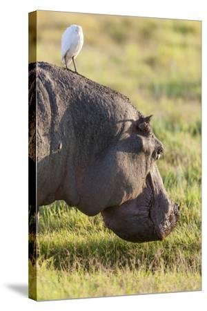 Hippopotamus Grazing, Amboseli National Park, Kenya-Martin Zwick-Stretched Canvas Print