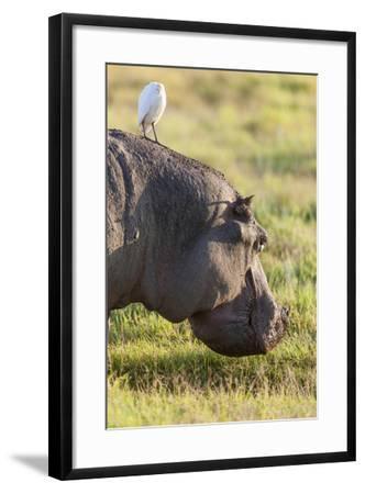 Hippopotamus Grazing, Amboseli National Park, Kenya-Martin Zwick-Framed Photographic Print
