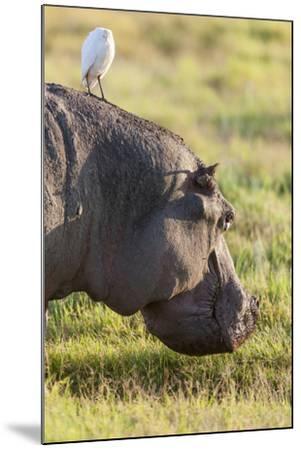 Hippopotamus Grazing, Amboseli National Park, Kenya-Martin Zwick-Mounted Photographic Print