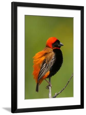 Southern Red Bishop, Serengeti National Park, Tanzania-Art Wolfe-Framed Photographic Print