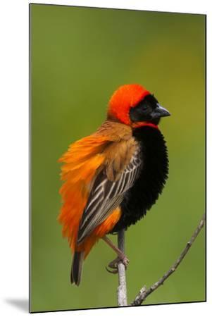 Southern Red Bishop, Serengeti National Park, Tanzania-Art Wolfe-Mounted Photographic Print