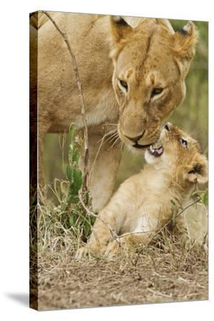 Lion with Young One, Maasai Mara Wildlife Reserve, Kenya-Jagdeep Rajput-Stretched Canvas Print
