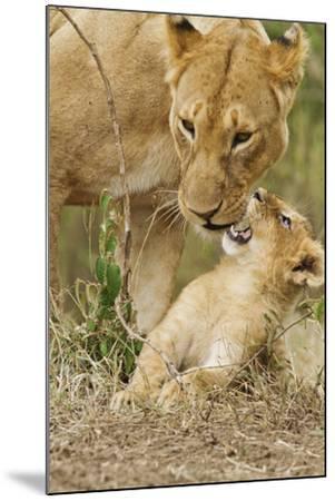 Lion with Young One, Maasai Mara Wildlife Reserve, Kenya-Jagdeep Rajput-Mounted Photographic Print