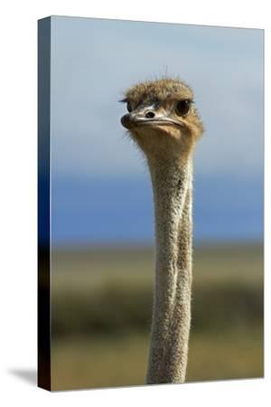 Ostrich, Etosha National Park, Namibia-David Wall-Stretched Canvas Print