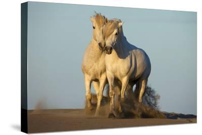 Two White Camargue Horses Trotting in Sand, Provence, France-Jaynes Gallery-Stretched Canvas Print