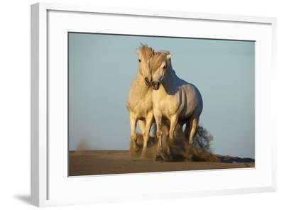 Two White Camargue Horses Trotting in Sand, Provence, France-Jaynes Gallery-Framed Photographic Print