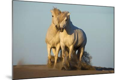 Two White Camargue Horses Trotting in Sand, Provence, France-Jaynes Gallery-Mounted Photographic Print