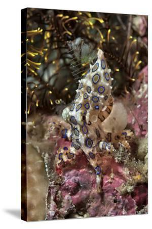 Blue-Ring Octopus and Coral, Raja Ampat, Papua, Indonesia-Jaynes Gallery-Stretched Canvas Print