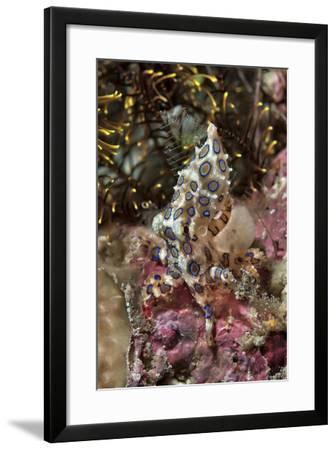 Blue-Ring Octopus and Coral, Raja Ampat, Papua, Indonesia-Jaynes Gallery-Framed Photographic Print