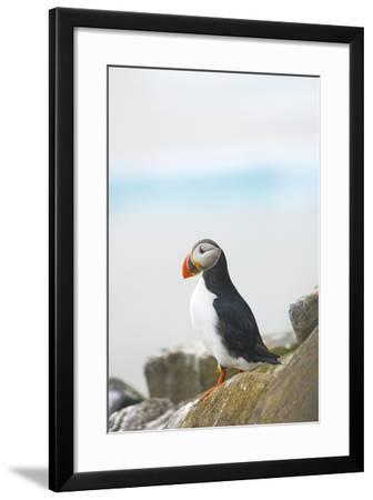 Atlantic Puffin Perched on a Cliff, Spitsbergen, Svalbard, Norway-Steve Kazlowski-Framed Photographic Print