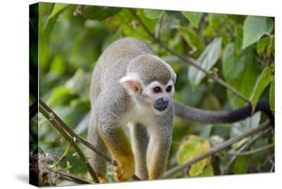 Wild Squirrel Monkey in Tree, Ile Royale, French Guiana-Cindy Miller Hopkins-Stretched Canvas Print