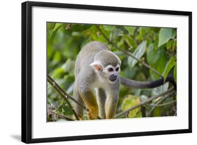 Wild Squirrel Monkey in Tree, Ile Royale, French Guiana-Cindy Miller Hopkins-Framed Photographic Print
