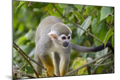 Wild Squirrel Monkey in Tree, Ile Royale, French Guiana-Cindy Miller Hopkins-Mounted Photographic Print
