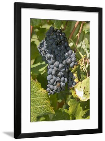 Wine Grapes, Bodegas Carrau Winery, Colon Area, Montevideo, Uruguay-Cindy Miller Hopkins-Framed Photographic Print