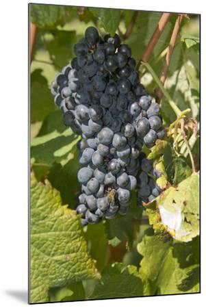 Wine Grapes, Bodegas Carrau Winery, Colon Area, Montevideo, Uruguay-Cindy Miller Hopkins-Mounted Photographic Print