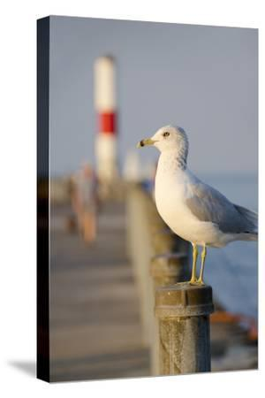 Seagull at the Lake Ontario Pier, Rochester, New York, USA-Cindy Miller Hopkins-Stretched Canvas Print