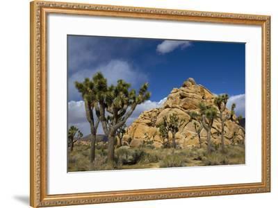 Joshua Trees, Queen Valley, Joshua Tree National Park, California, USA-Charles Gurche-Framed Photographic Print