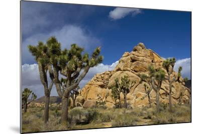 Joshua Trees, Queen Valley, Joshua Tree National Park, California, USA-Charles Gurche-Mounted Photographic Print