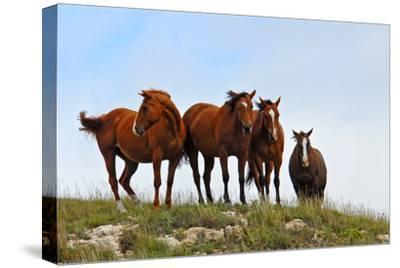 Four Horses, Kansas, USA-Michael Scheufler-Stretched Canvas Print