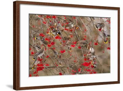 Bohemian Waxwings Feeding on Mountain Ash Berries, Montana, USA-Chuck Haney-Framed Photographic Print