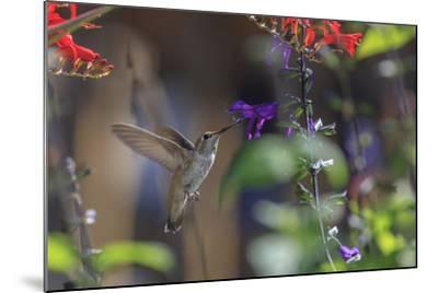 Anna's Hummingbird, Santa Cruz, California, USA-Tom Norring-Mounted Photographic Print