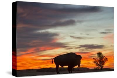 Bison Bull Silhouette, Theodore Roosevelt NP, North Dakota, USA-Chuck Haney-Stretched Canvas Print