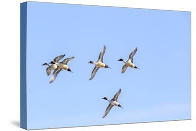 Northern Pintail Ducks in Courtship Flight, Montana, USA-Chuck Haney-Stretched Canvas Print
