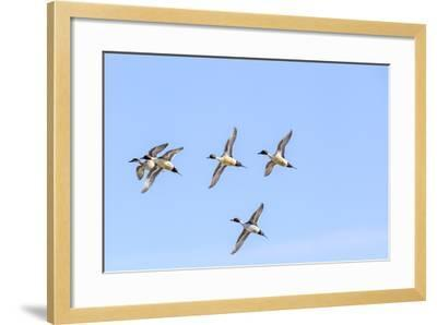 Northern Pintail Ducks in Courtship Flight, Montana, USA-Chuck Haney-Framed Photographic Print
