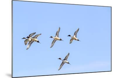 Northern Pintail Ducks in Courtship Flight, Montana, USA-Chuck Haney-Mounted Photographic Print