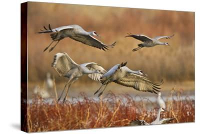 Sandhill Cranes Landing, Bosque Del Apache NWR, New Mexico, USA-Larry Ditto-Stretched Canvas Print