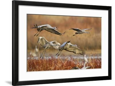 Sandhill Cranes Landing, Bosque Del Apache NWR, New Mexico, USA-Larry Ditto-Framed Photographic Print