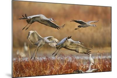 Sandhill Cranes Landing, Bosque Del Apache NWR, New Mexico, USA-Larry Ditto-Mounted Photographic Print