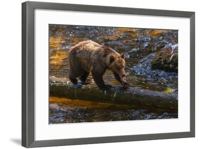 Grizzly Bear Watching for Salmon, Tongass National Forest Alaska, USA-Jaynes Gallery-Framed Photographic Print